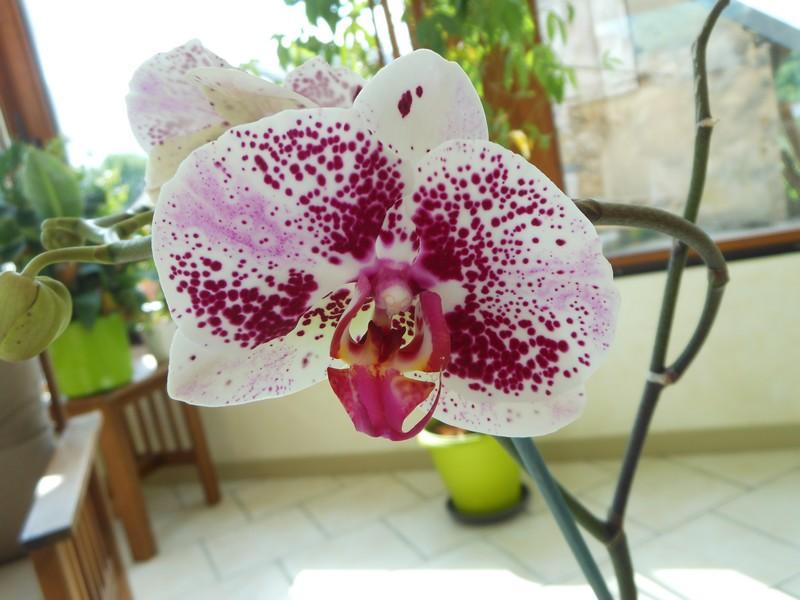 Phalaenopsis hybride Phal_510
