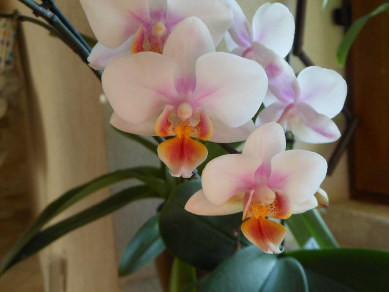 Phalaenopsis hybride Phal_610