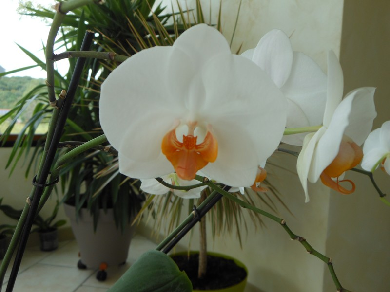 Phalaenopsis Darwin Phal_d10