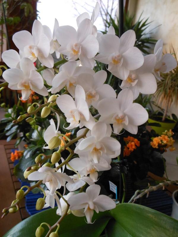 Phalaenopsis multiflora  Phal_m10