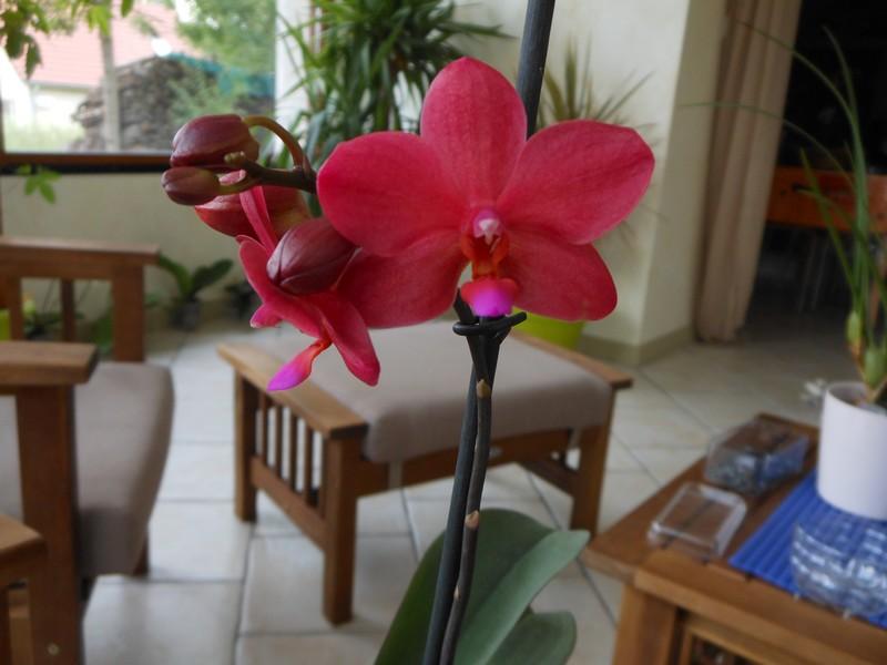 Phalaenopsis Piccolo Red Phal_p10