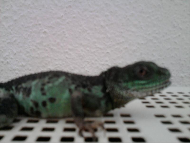 dragon d'eau vu sur un site de vente  Photo011