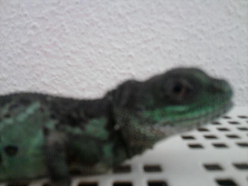 dragon d'eau vu sur un site de vente  Photo012