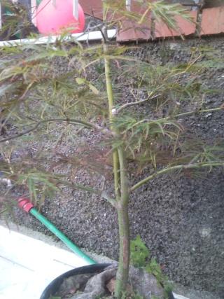 acero futuro bonsai P1407210