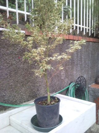 acero futuro bonsai P1407213