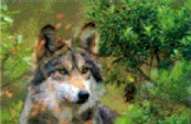 Types Of Wolves  Canis_10