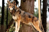 Types Of Wolves  Downlo11