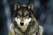 Types Of Wolves  Downlo12