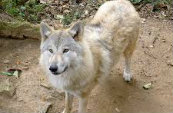 Types Of Wolves  Downlo14