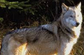 Types Of Wolves  Downlo16