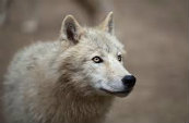 Types Of Wolves  Downlo19