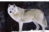 Types Of Wolves  Downlo20