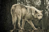 Types Of Wolves  Downlo22