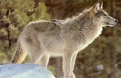 Types Of Wolves  Downlo23