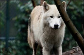 Types Of Wolves  Downlo26