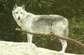 Types Of Wolves  Downlo28
