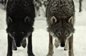Types Of Wolves  Downlo32