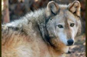 Types Of Wolves  Downlo33