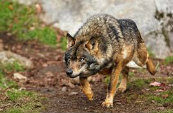 Types Of Wolves  Downlo35