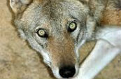 Types Of Wolves  Downlo36