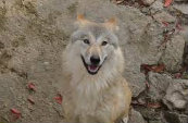 Types Of Wolves  Downlo39