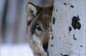 Types Of Wolves  Images10