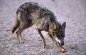 Types Of Wolves  Images11