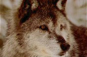 Types Of Wolves  Newfou10