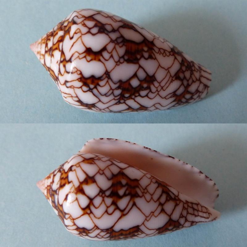 Conus (Cylinder) archiepiscopus verriculum   Reeve, 1843 - Page 3 Textil10