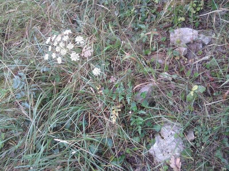 Herbe aux cerfs (=Peucédan commun) / Cervaria rivini Cigue_10