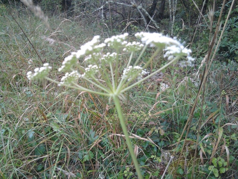 Herbe aux cerfs (=Peucédan commun) / Cervaria rivini Cigue_12