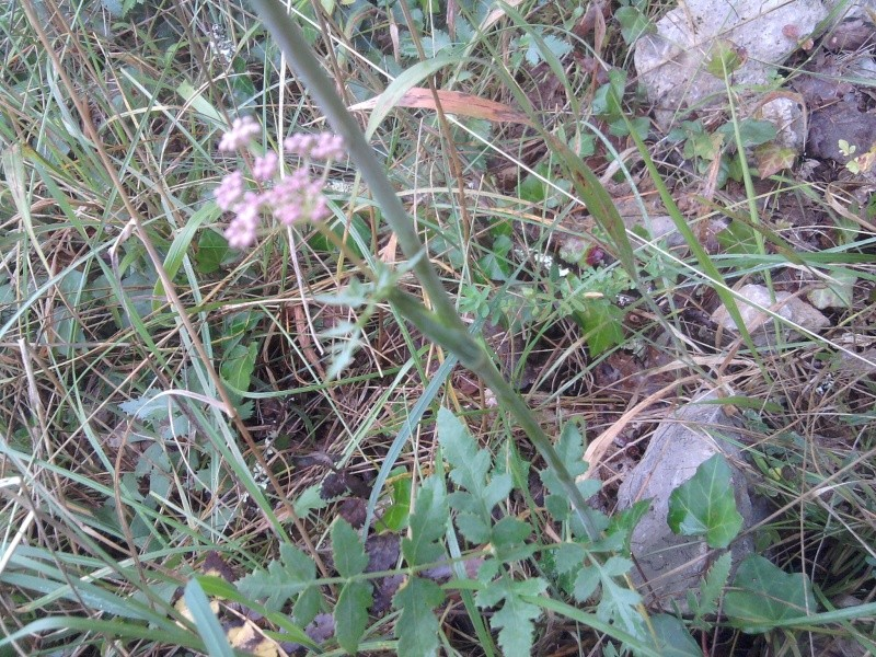 Herbe aux cerfs (=Peucédan commun) / Cervaria rivini Cigue_13