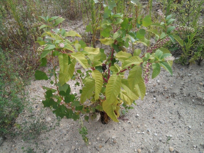 Raisin d'Amérique / Phytolacca americana  Phytol10