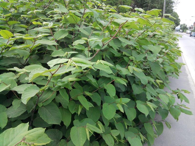 Renouée du Japon / Reynoutria japonica Renoua11
