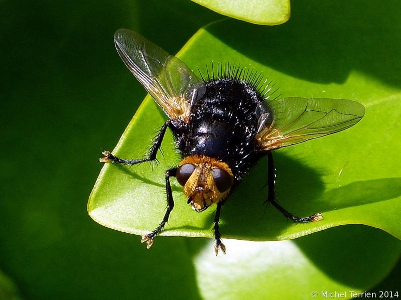 Identification insecte P1230510