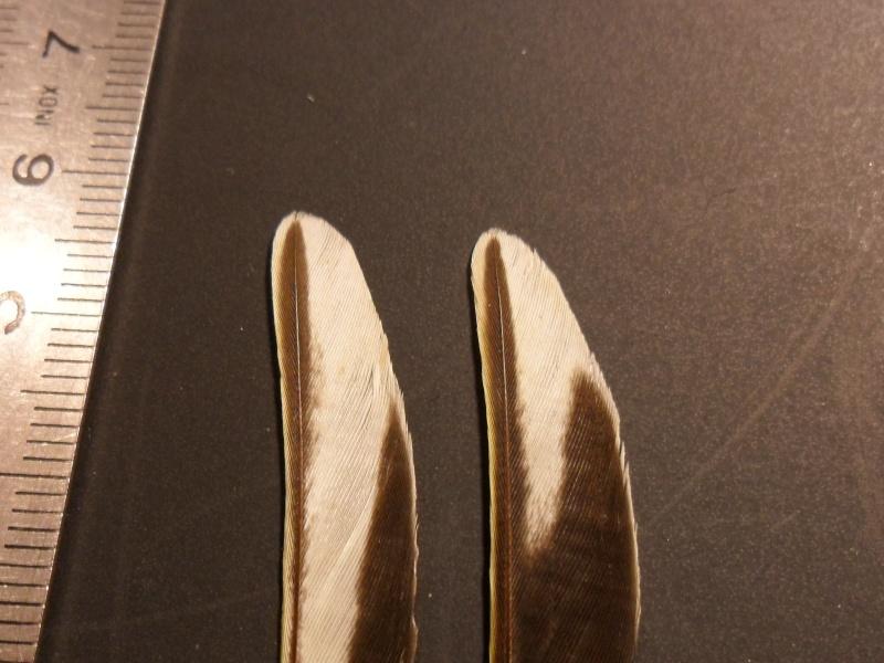 Différentiation des rectrices de pipits, bruants et pinsons Sam_5221