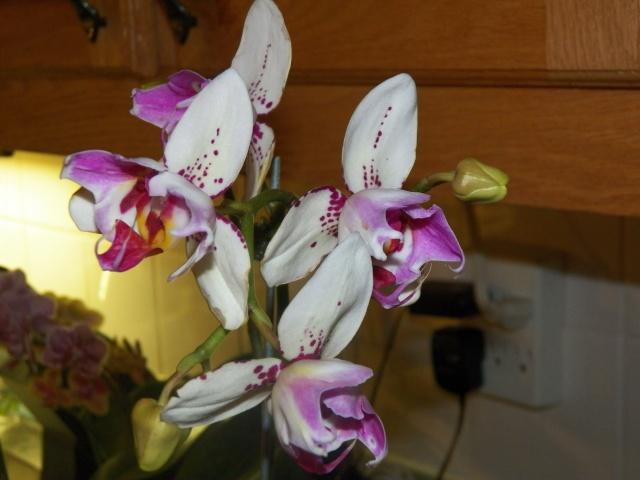 Mes nouvelles amies Phalaenopsis !!! Lison_11