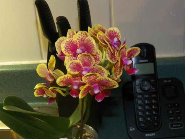 Mes nouvelles amies Phalaenopsis !!! Lison_12