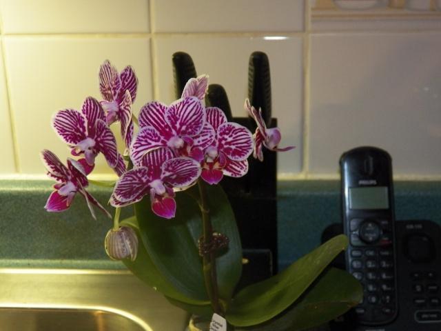 Mes nouvelles amies Phalaenopsis !!! Lison_13