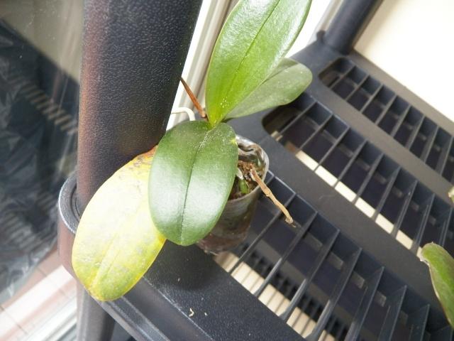 Questionnement au sujet d'orchidées naturellement !!! Lison_14