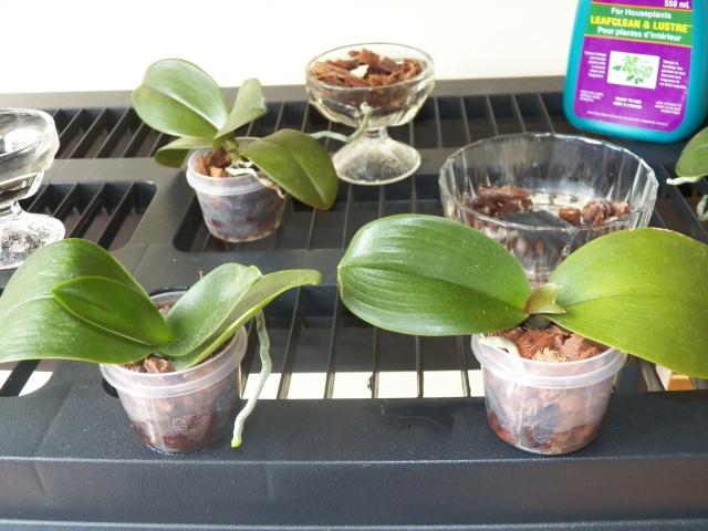 Questionnement au sujet d'orchidées naturellement !!! Lison_15