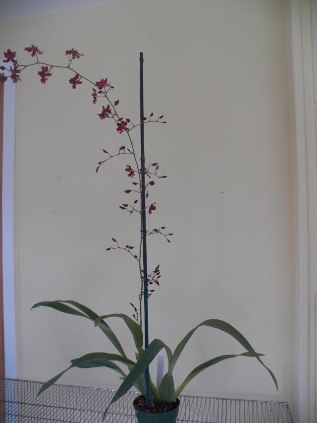 Deux pahlaenopsis et Un oncidium !!! Lison_26