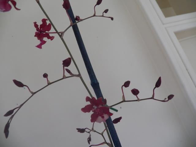 Deux pahlaenopsis et Un oncidium !!! Lison_27