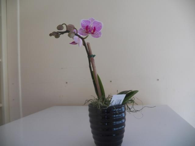 Deux pahlaenopsis et Un oncidium !!! Lison_28