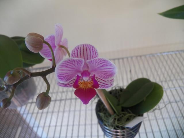 Deux pahlaenopsis et Un oncidium !!! Lison_29