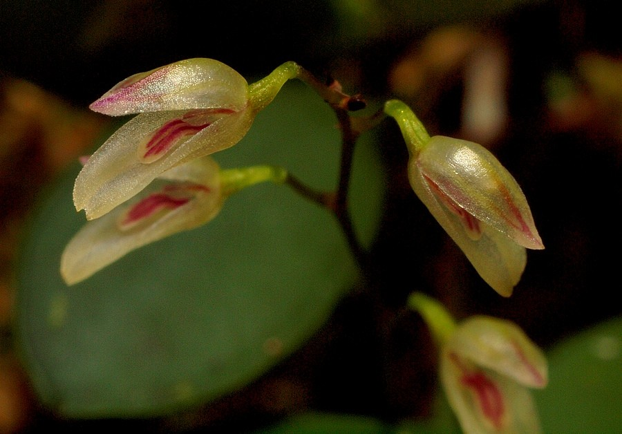 Variations sur Specklinia grobyi P8175029