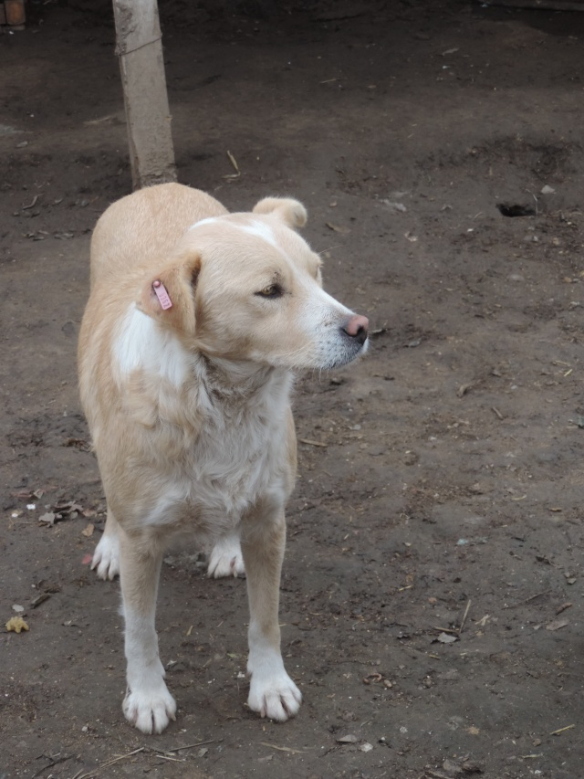Marko, né en 2010, type labrador -PARRAINE PAR MARYLENE -R-FB-SOS-LBC-SC- - Page 2 Dscn1040