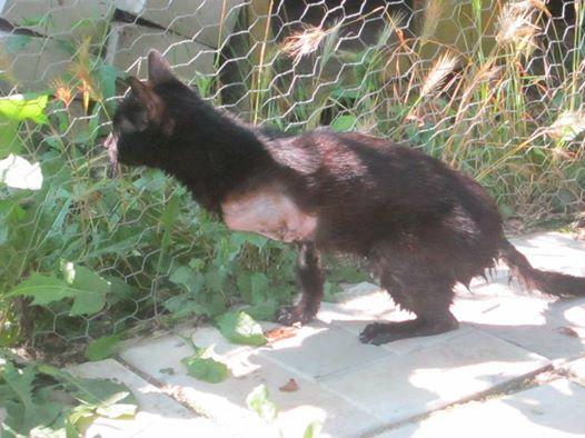 Arrivées prochaines de 3 chats très handicapés. Chatte11