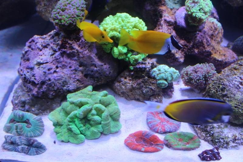 Le nouveau Reef d'Alexpilon, 600l custom - Page 3 Img_6214