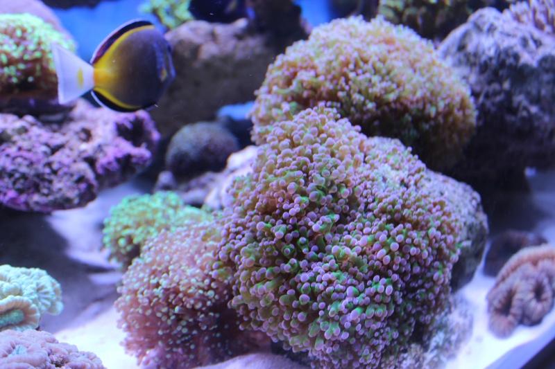 Le nouveau Reef d'Alexpilon, 600l custom - Page 4 Img_6317